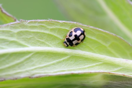 natureal: close up of ladybug on the green leaf, taken photos in the natureal wild state, Luannan County, Hebei Province, China. Stock Photo