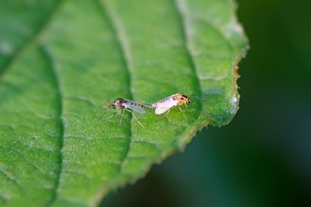 popular science: diptera chironomidae insects on the leaves, they are mating, take photos in the natural wild state, Luannan County, Hebei Province, China.