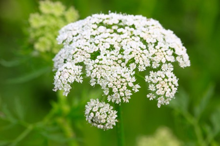 popular science: white flowers in full bloom, can be used as Chinese medicine. Take photos in the natural wild state, Luannan County, Hebei Province, China. Stock Photo