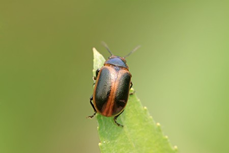 a beetle on the green leaf. Take photos in the natural wild state, Luannan County, Hebei Province, China. photo