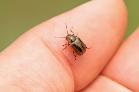 a beetle on a hand, Take photos in the natural wild state, Luannan County, Hebei Province, China. photo