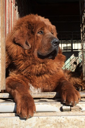 close up of tibetan mastiff, north china Stock Photo