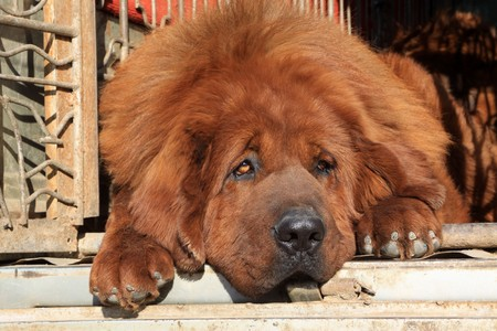 north china: close up of tibetan mastiff, north china Stock Photo