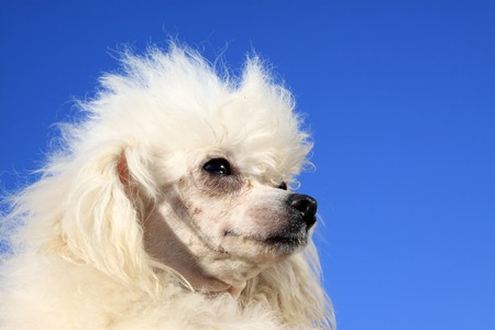 a kind of pet dog with white fur photo