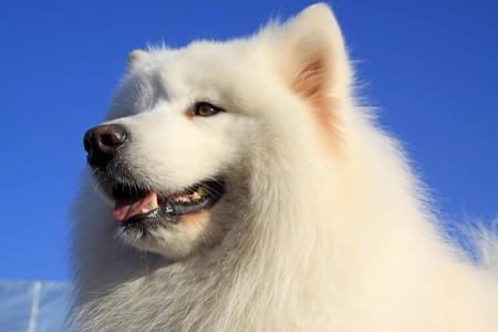 esquimales: una especie de mascotas perros con pelaje blanco