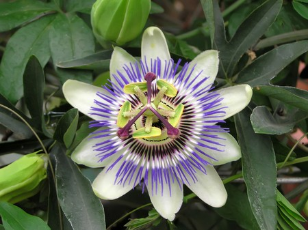 passifloraceae plant flowers in full bloom, close up of pictures, very strange shape, very pretty, can do green plants, can be potted, taken photo in Luannan County, Hebei Province, china.  photo