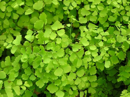 species: close up of maidenhair fern, one of  the most common fern species plants, take photos in a flower market, Luannan County, Hebei Province, China.