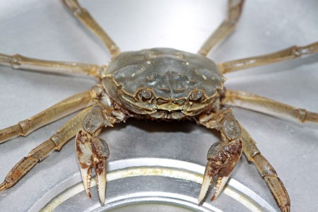 aquatic products: close up of crab in a metal pool