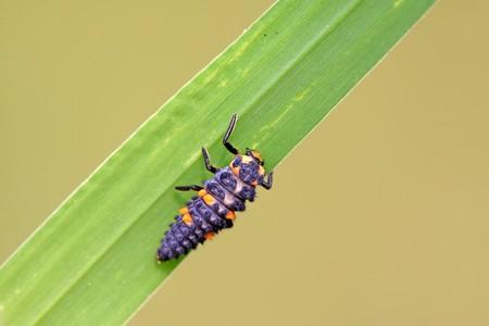 natureal: Harmonia axyridis larve su una foglia verde, una specie di insetti coccinella, prese la foto in natureal stato selvatico, Luannan County, Hebei Province, Cina.