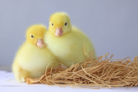 close up of ducklings, taken photos in the indoor lighting conditions, Luannan County, Hebei Province, China.
