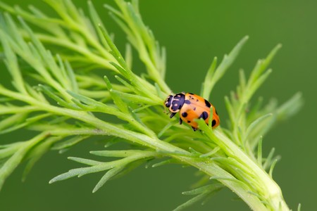 ladybug on a green leaf, taken photos in the natural wild state, Luannan County, Hebei Province, China.  photo