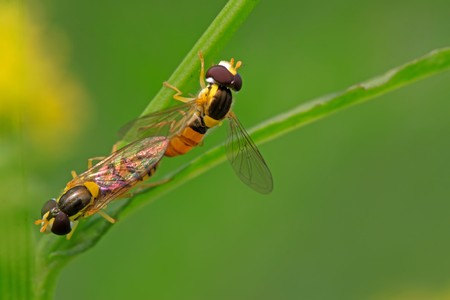 adult intercourse: a kind of insects named syrphidae on a green leaf, photographs of natural wild state, Luannan County, Hebei Province, China.