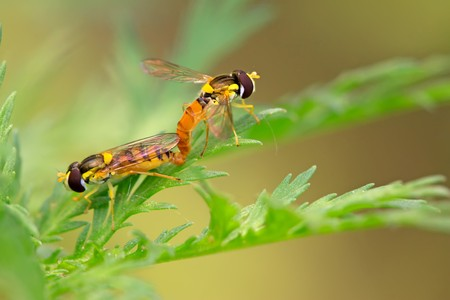 sexual intercourse: a kind of insects named syrphidae on a green leaf, photographs of natural wild state, Luannan County, Hebei Province, China.