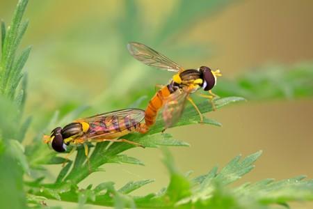 relaciones sexuales: el nombre de una especie de insectos syrphidae sobre una hoja verde, fotograf�as de estado salvaje natural, Condado de Luannan, provincia de Hebei, China.  Foto de archivo