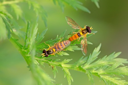 copulate: a kind of insects named syrphidae on a green leaf, photographs of natural wild state, Luannan County, Hebei Province, China.