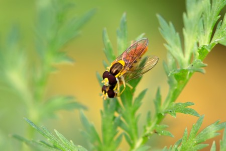 a kind of insects named syrphidae on a green leaf, photographs of natural wild state, Luannan County, Hebei Province, China.  photo