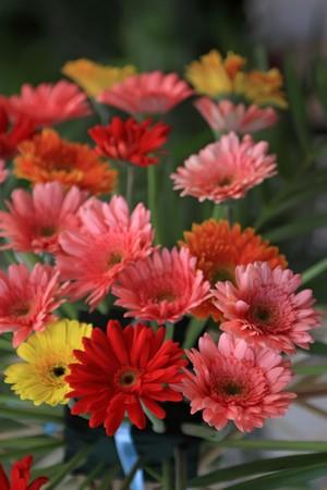closeup of cut flowers, colorful gerbera, north china, 2009. Stock Photo - 7399863