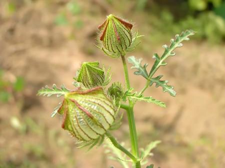malvaceae: wild watermelon seedlings, a kind of Malvaceae Hibiscus plants Stock Photo