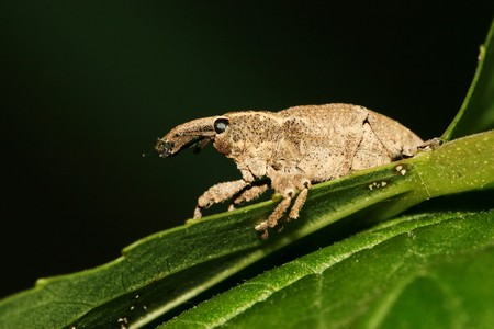 curculionidae: a kind of insect has a long nose Stock Photo