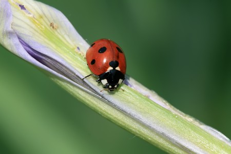 taxonomy: a kind of insects named ladybug Stock Photo