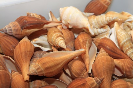 aquatic products: cameo shell, a kind of marine animals  Stock Photo