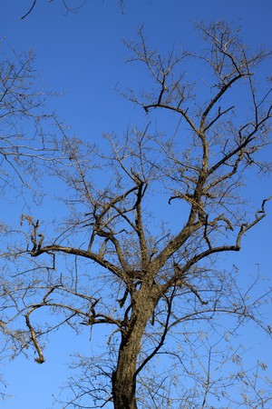 leafless trees have bizarre appearance in the blue sky, Qinhuangdao City, Hebei Province, China,2009. Stock Photo - 7475808