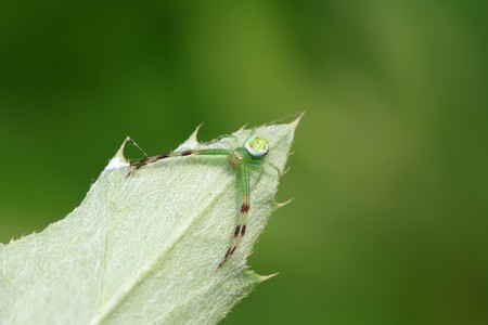 a kind of insects named crab spider photo