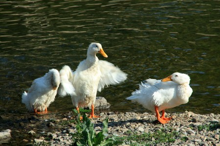 jitter: close up of ducks by the lake