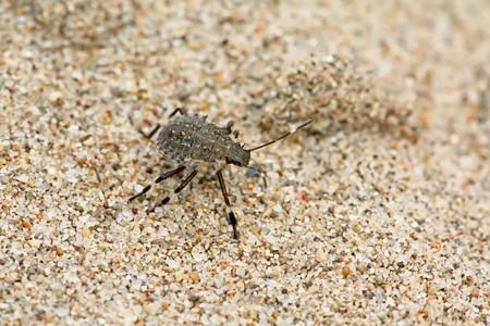 pentatomidae: a kind of insects named stinkbug