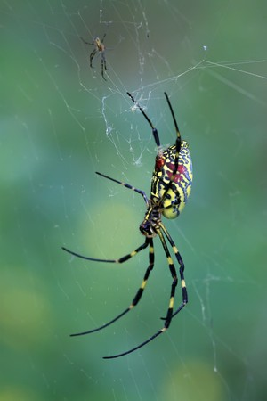 a kind of insects named spider, body covered with strange patterns, in the spider web, close-up pictures.  photo