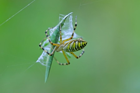 a spider is capturing a grasshopper, its body covered with strange patterns, in the spider web, close-up pictures.  photo