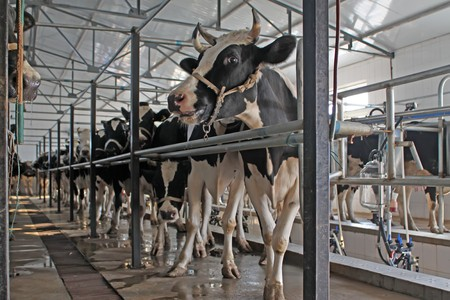 health facilities: dairy cows in the milking parlor, in the rural of Luannan, Hebei Province, China.