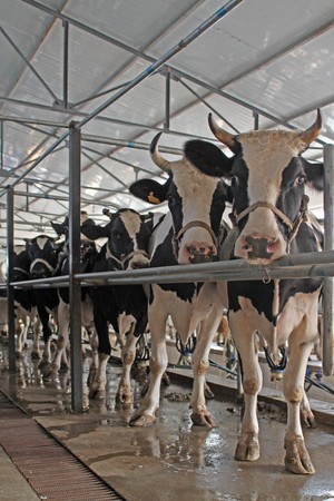 standardization: dairy cows in the milking parlor, in the rural of Luannan, Hebei Province, China.