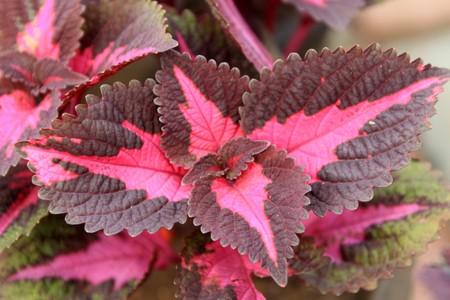 close up of coleus blumei leaves Stock Photo - 7485422