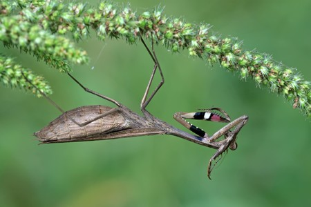 wil: mantis Branch, insects, worms, monkey mantis, knives mantis, invertebrates, animals, wildlife, biology, biological control, ecology, entomology, zoology, beneficial insects, natural enemies, pest natural enemies, natural, environmental, field, fields, wil