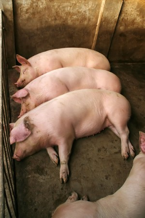 pigpen: pigs sleeping in the farm