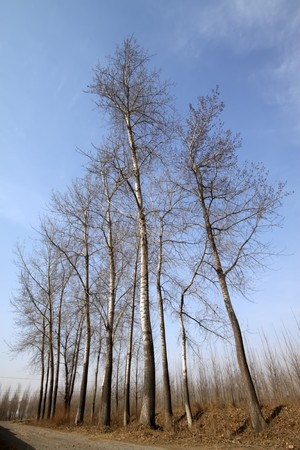 poplars in winter under the blue sky, Qinhuangdao City, Hebei Province, China. Stock Photo - 7530022