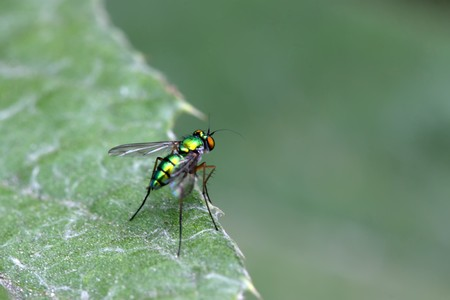gadfly: a kind of gadfly on a green leaves
