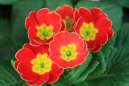 primrose: close up of primrose flowers, in a botanical garden, Qinhuangdao City  Stock Photo