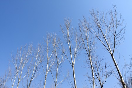 poplar trees in winter, Qinglong County, Hebei Province, Nnorth China. Stock Photo - 7549065
