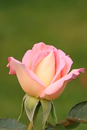 close up of rose flower photo