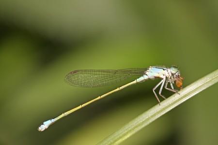 mosca de la damisela en la hierba en estado natural  Foto de archivo - 7612165