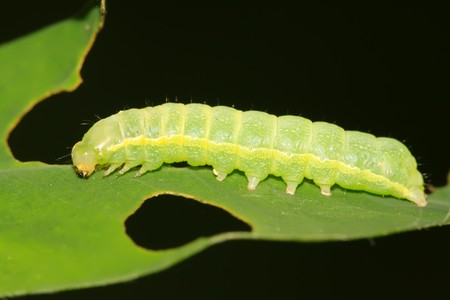 lepidoptera: a kind of lepidoptera insects lurking on the leaves Stock Photo