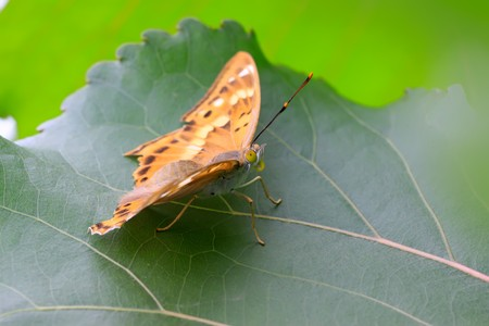 lepidoptera: a kind of lepidoptera insects