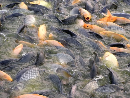 fish eating on the surface of water photo