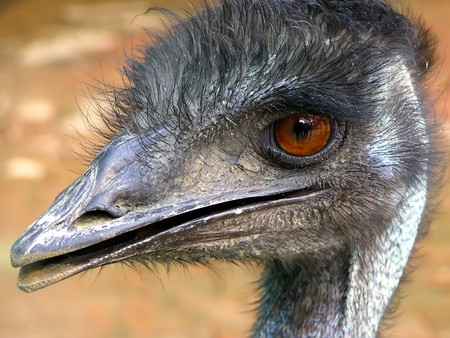 a kind of animal named emu Banque d'images - 8001361
