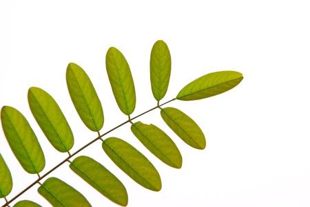 pinnately: green pinnately compound leaf in white background