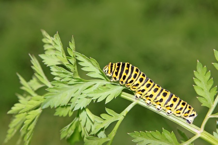 latent: butterfly larva - caterpillar in a leaf Stock Photo