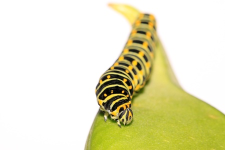 larva: butterfly larva - caterpillar in a leaf Stock Photo
