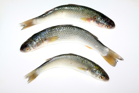aquatic products: fresh barracuda on a white background